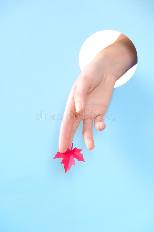 Human hand protruding through hole in blue background, holding autumn maple leaf stock photography