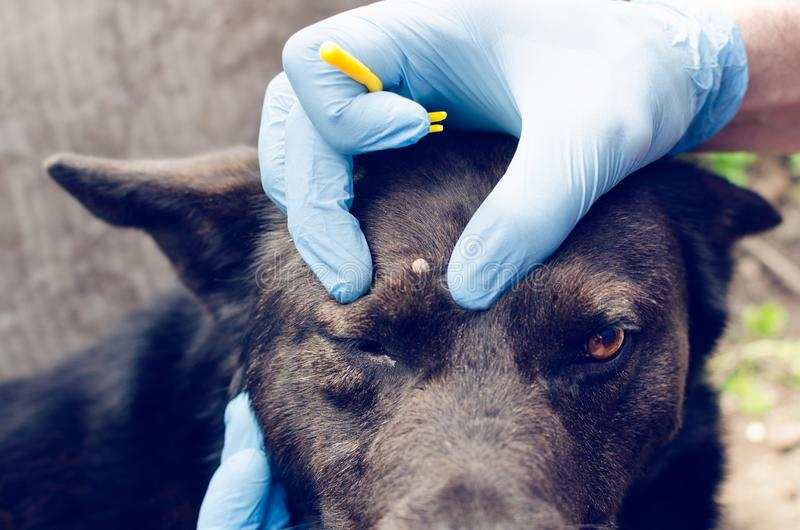 Human hands in blue gloves remove the tick with the hook of the dog stock photography