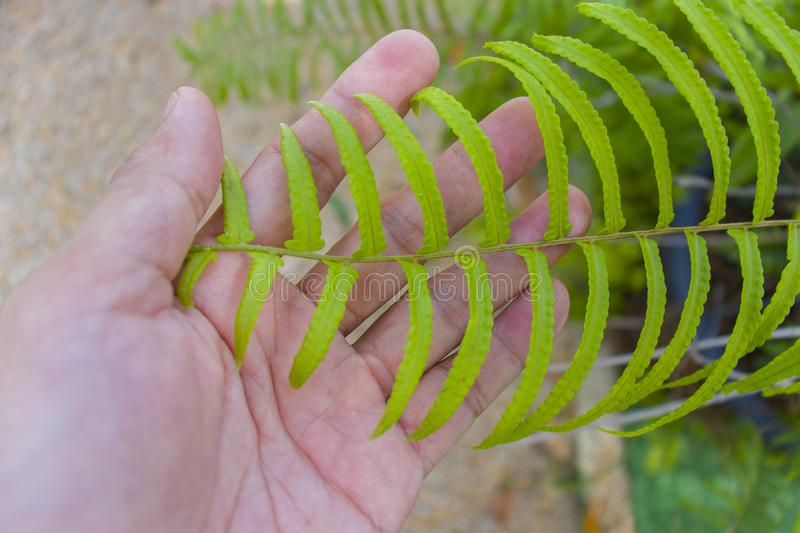 Human hands holding fern leaves, close up Green green fern leaves in man`s hands. High resolution image gallery royalty free stock photo