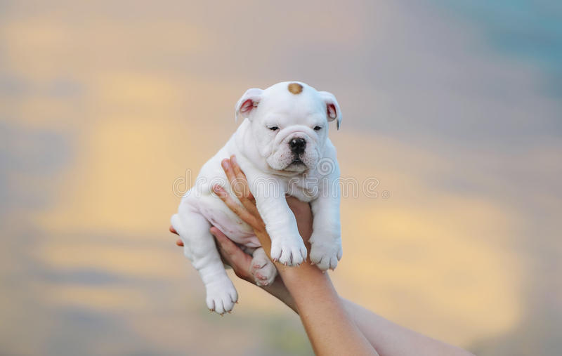 Human hands holding puppy against the background of a sunset. Portrait of an amusing white puppy royalty free stock photo