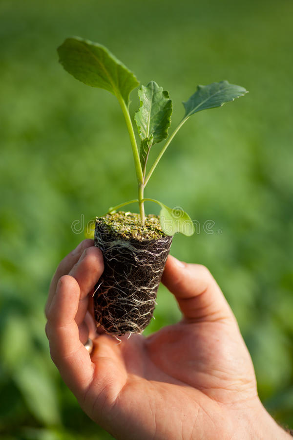 Human hands holding young plant with soil over blurred nature background. Ecology World Environment Day CSR Seedling Go stock images