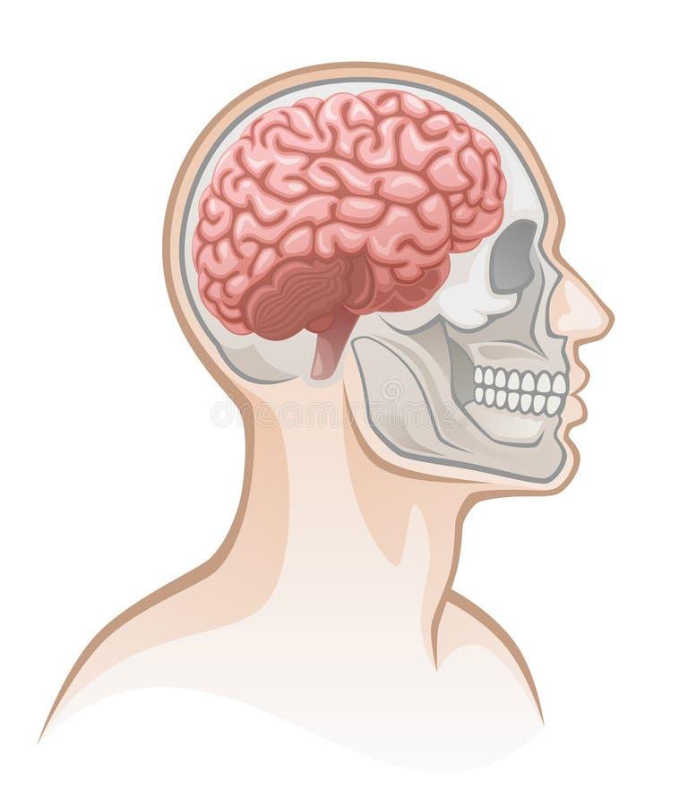 Human head anatomy stock illustration