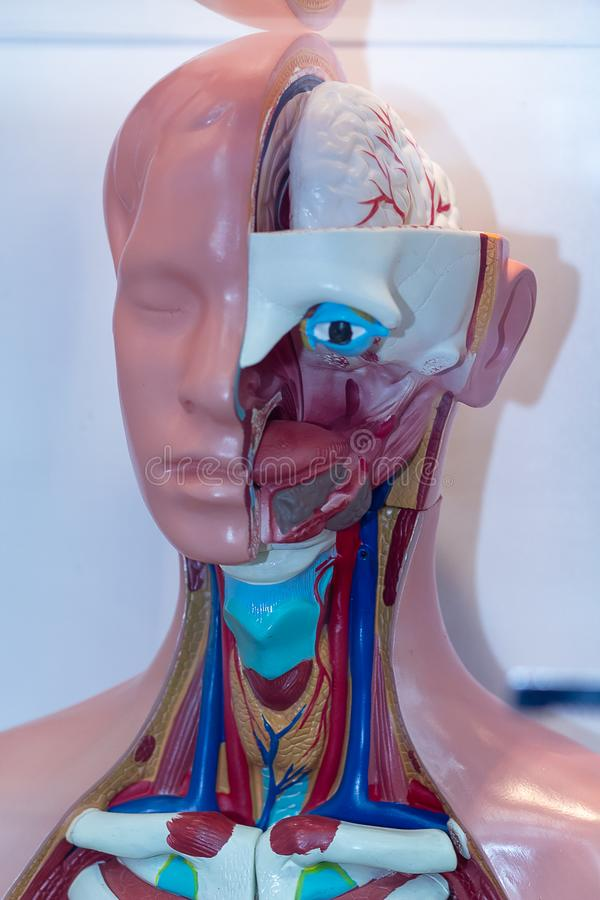 Human head model of anatomy at an exhibition. Medicine and obazovanie royalty free stock image
