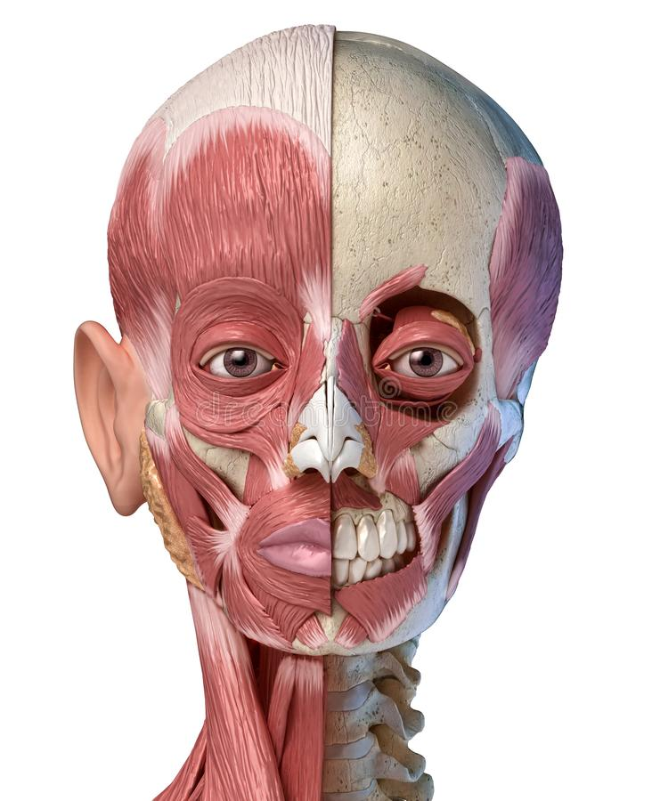 Human head muscular system on skull. Front view royalty free illustration