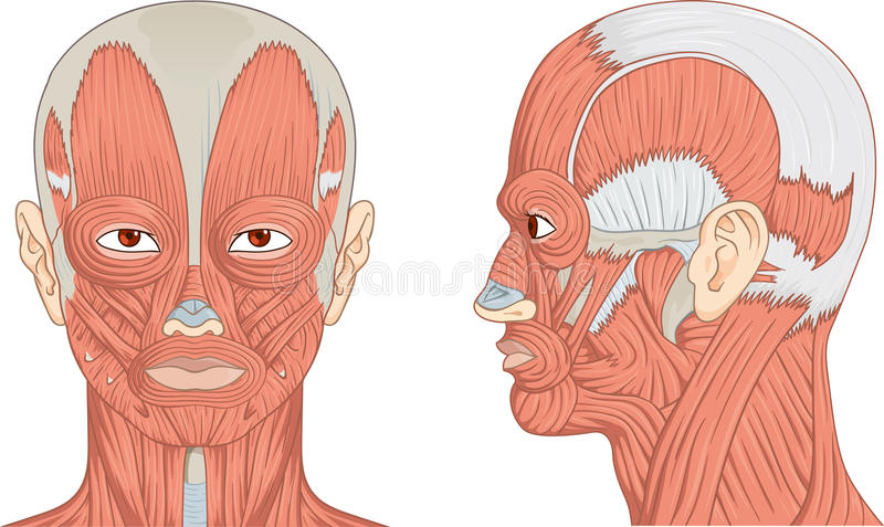 Human Head And Neck Muscles Diagram Stock Photo - Image of anterior ...