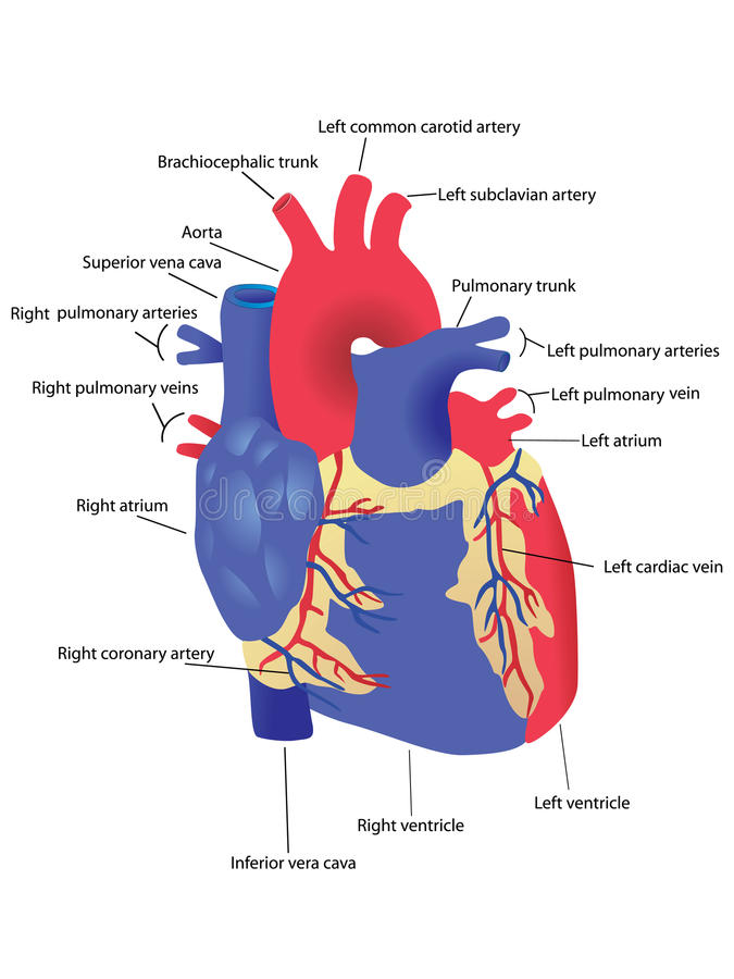 Download Human heart stock vector. Illustration of healthy, illustration - 12845794