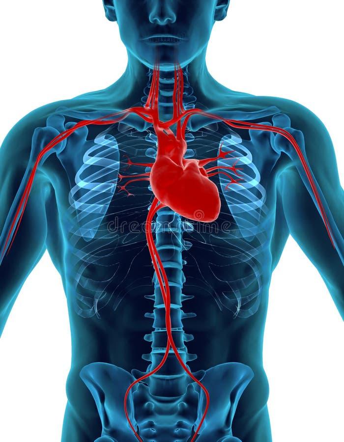 Download Human Heart stock illustration. Image of graph, anatomy - 14244412