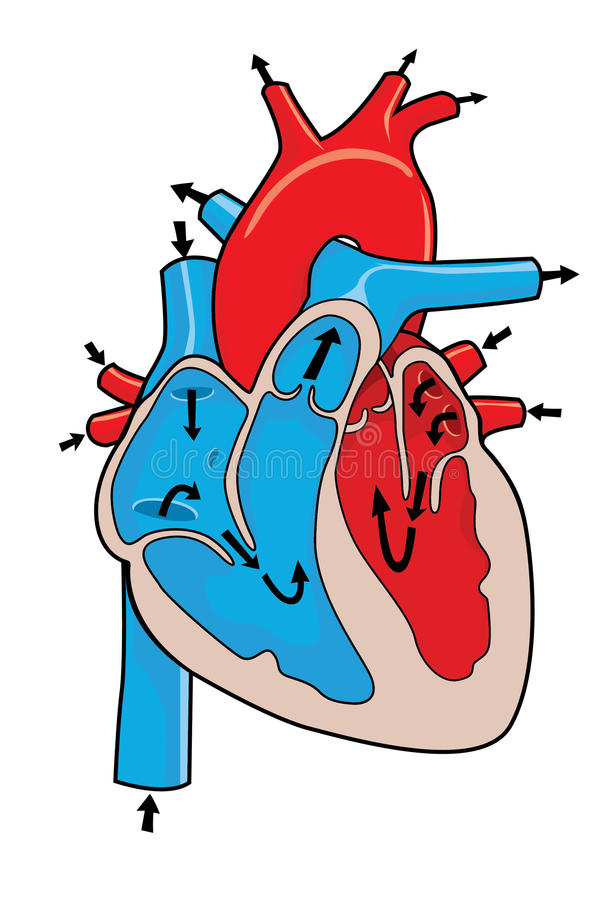 Free Human Heart Royalty Free Stock Photo - 22347595