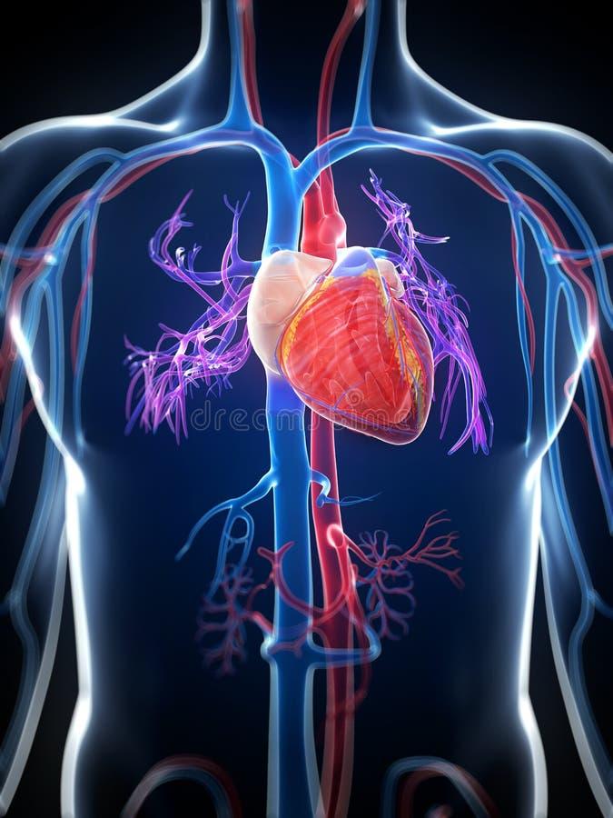 Free Human Heart Royalty Free Stock Photo - 30724465