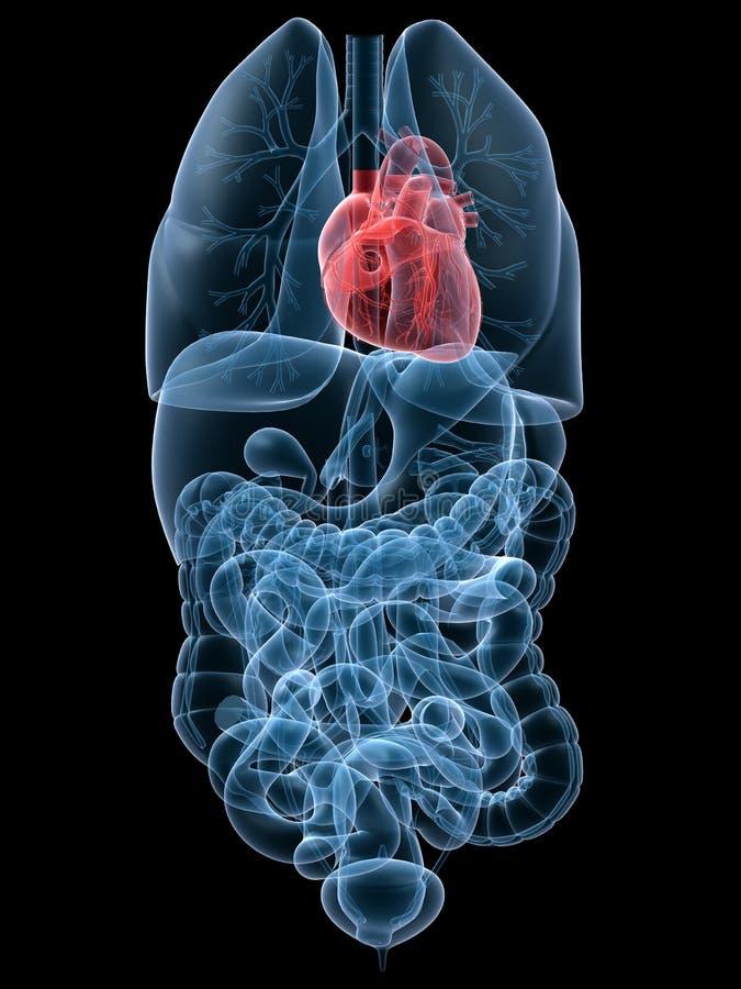 Human heart. 3d rendered anatomy illustration of human organs with heart vector illustration