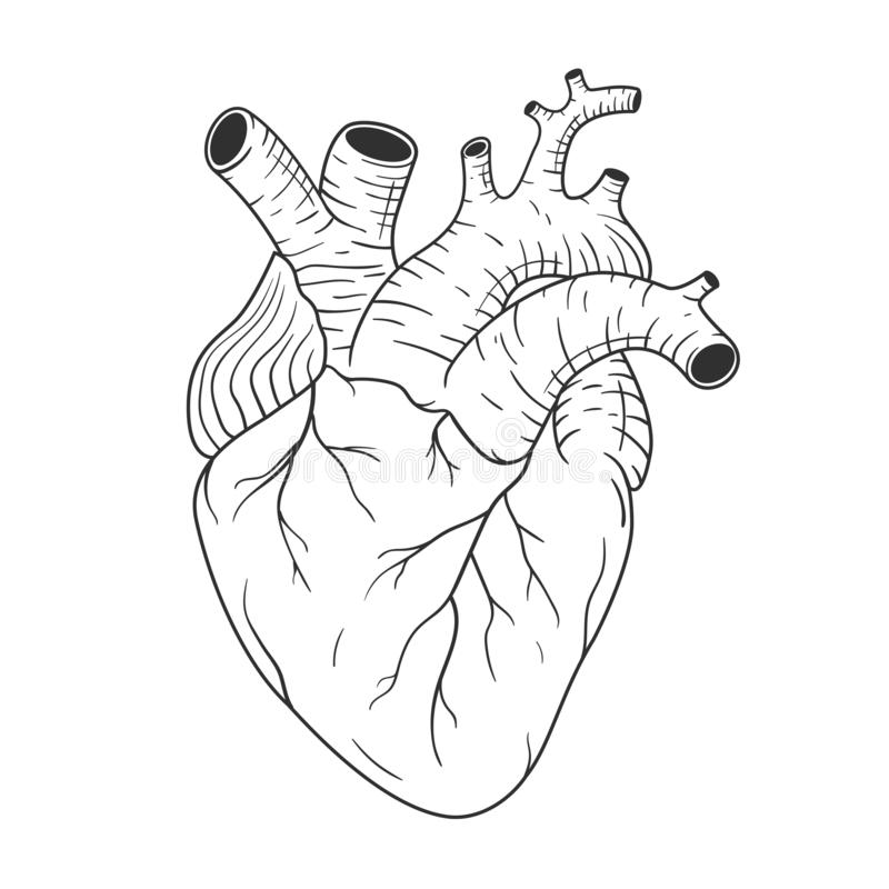 Human heart anatomically correct hand drawn line art. Black and white sketch vector royalty free illustration