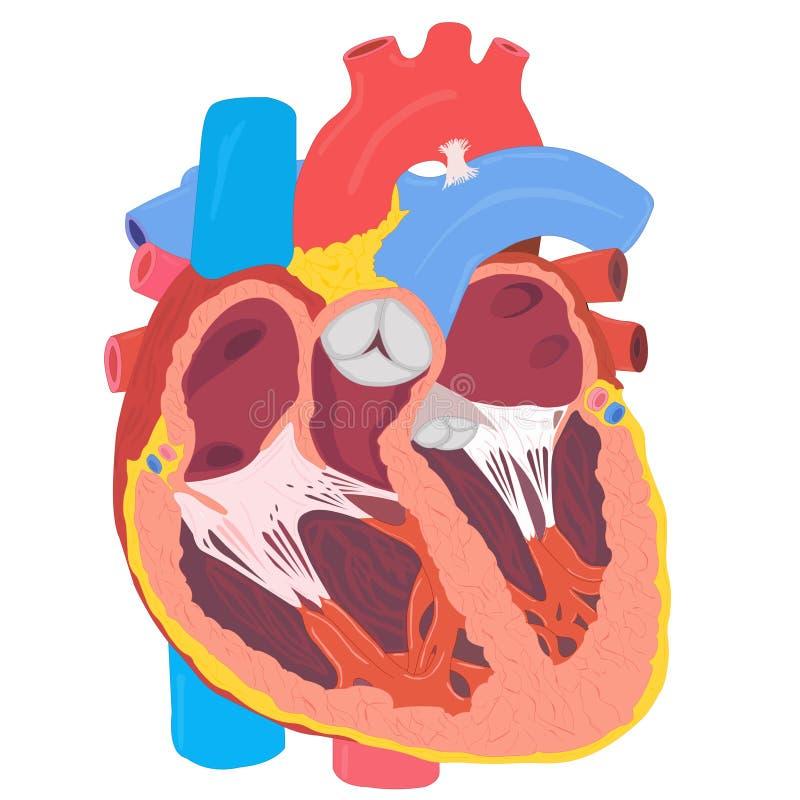 Download Human heart anatomy stock vector. Illustration of pulse - 10452637