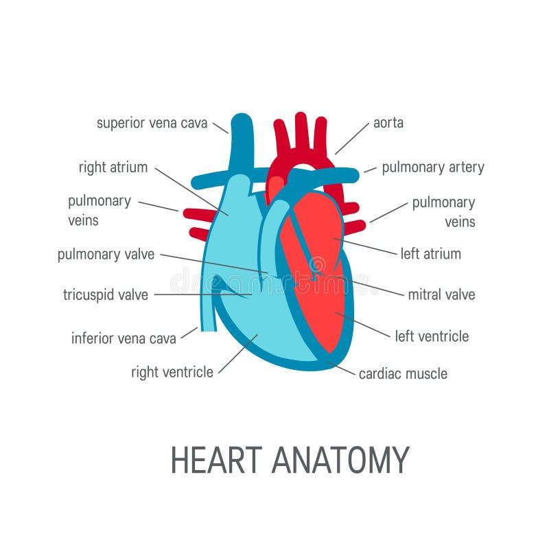 Human heart vector icon in flat style stock illustration