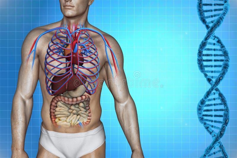 Human heart anatomy stock illustration. Illustration of cava - 34490697
