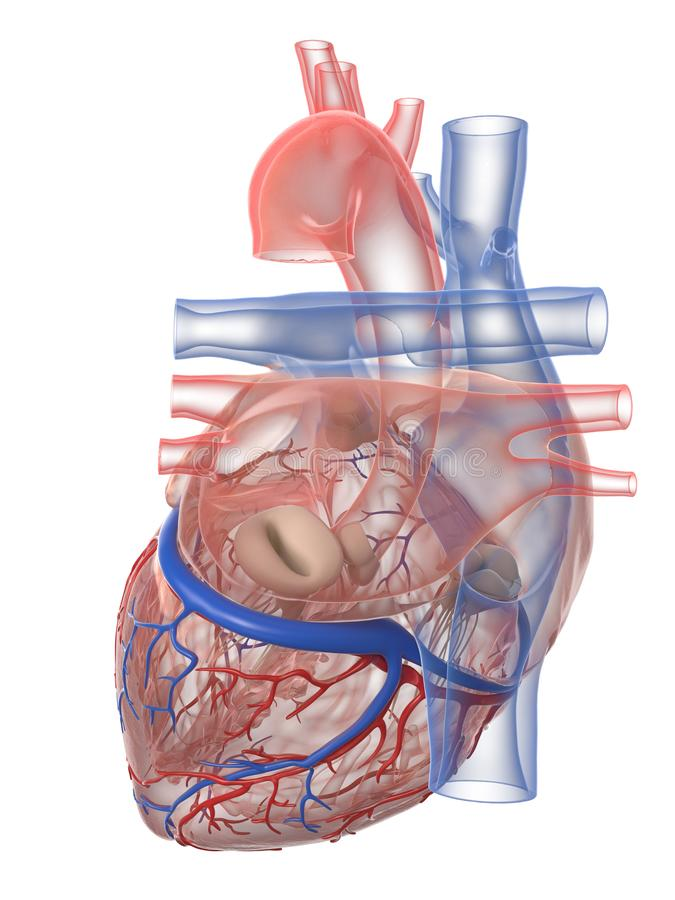 The human heart anatomy. 3d rendered medically accurate illustration of the human heart anatomy vector illustration
