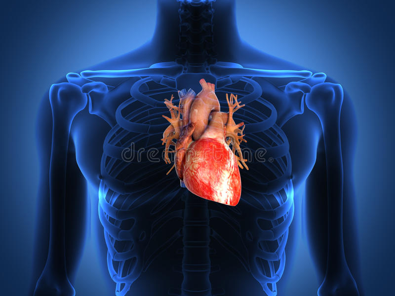Human heart anatomy from a healthy body royalty free illustration