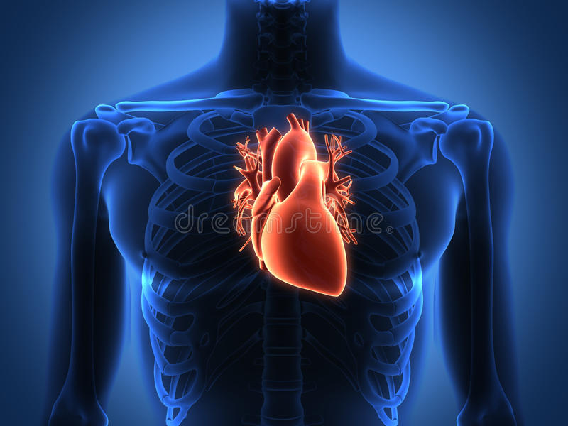 Human Heart Anatomy From A Healthy Body Stock Photo