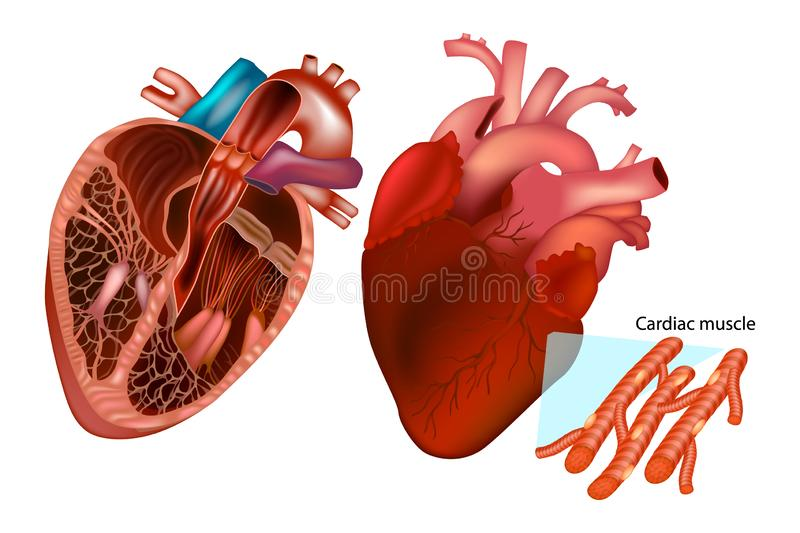The human heart anatomy. stock illustration