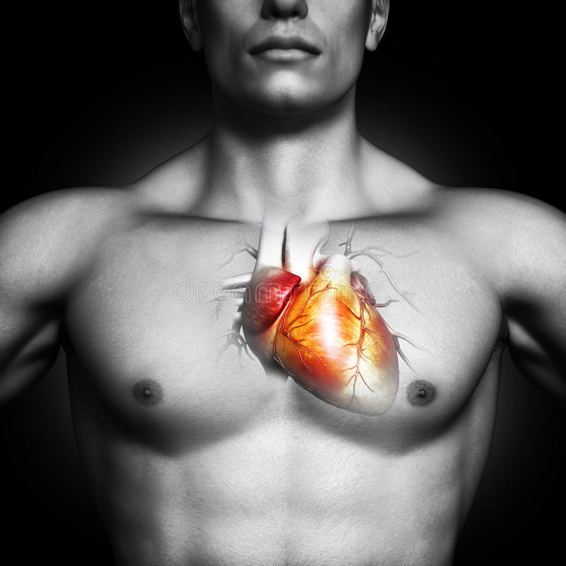Human heart anatomy illustration. Of a black and white male on a black background. Part of a medical series royalty free stock photography