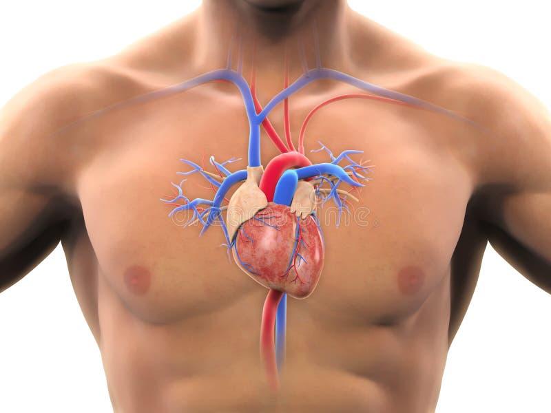 Human Heart Anatomy royalty free illustration