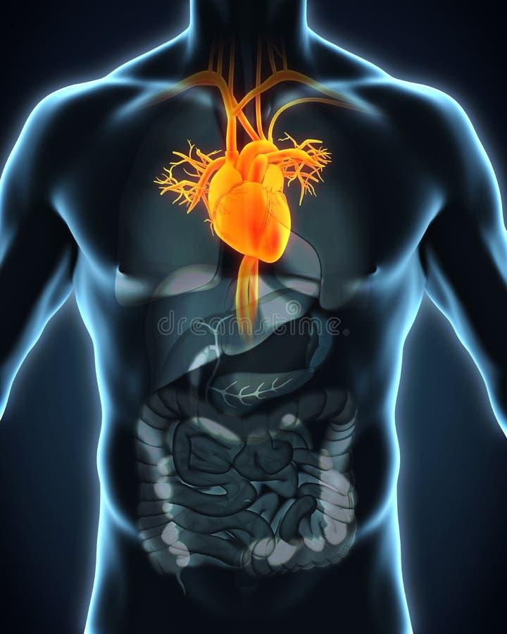 Human Heart Anatomy stock illustration