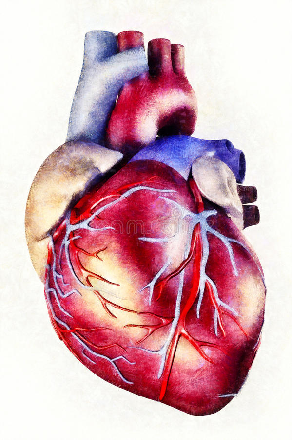 Human Heart Anatomy Illustration Stock Illustration Illustration