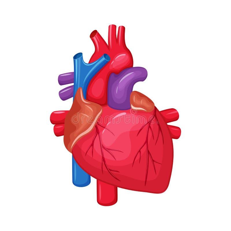 Human heart anatomy stock vector. Illustration of circulation - 72820305