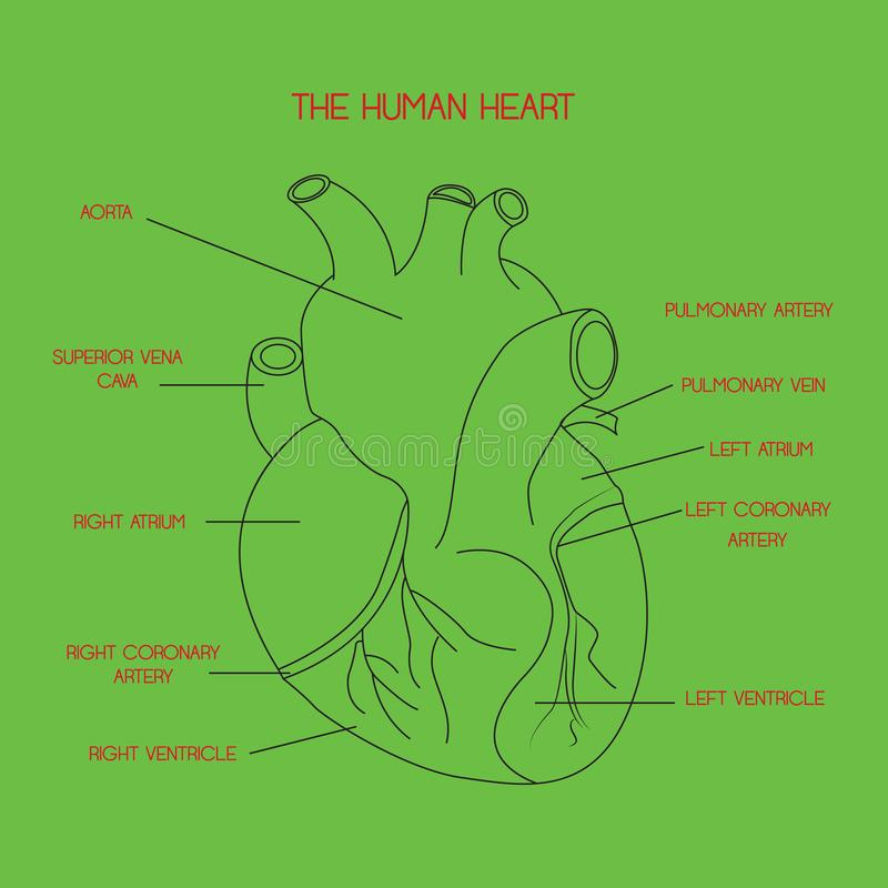 Human heart anatomy vector isolated on green background. This illustration about medical and health care. royalty free illustration