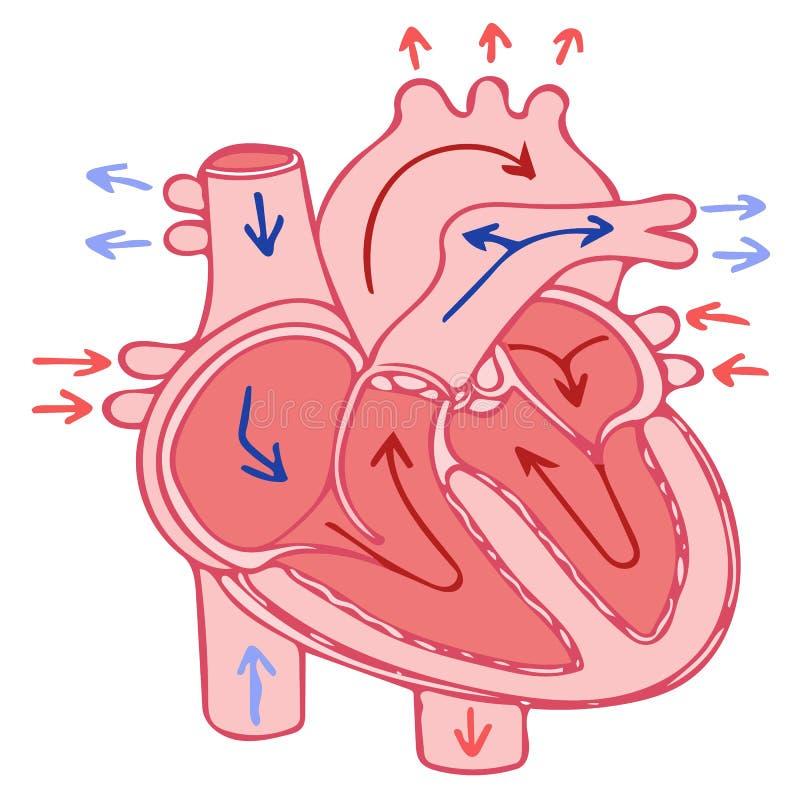 Human Heart anatomy stock illustration. Illustration of donor - 64117700