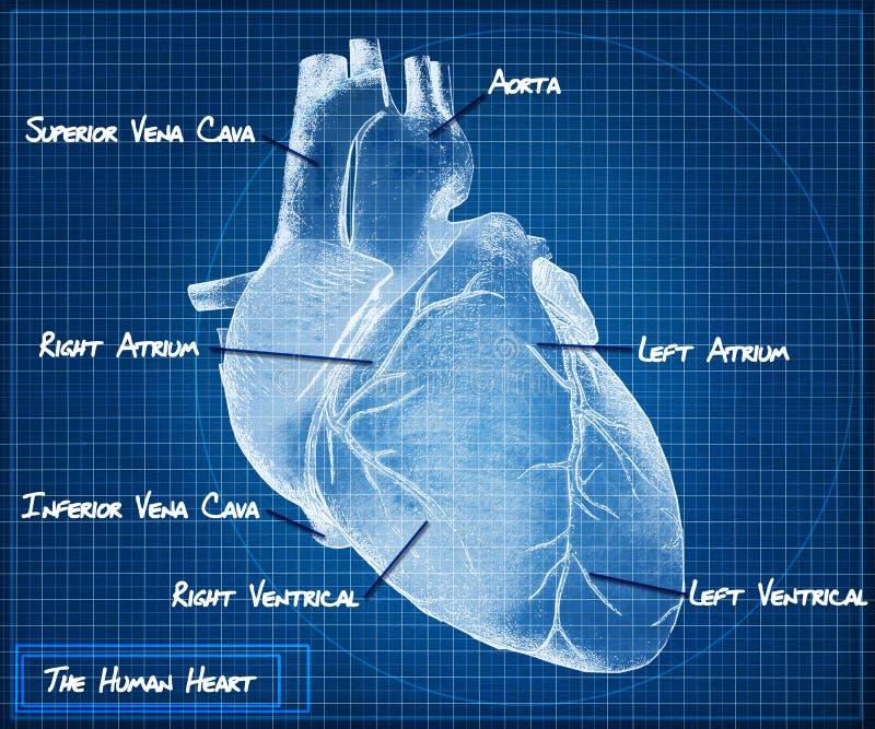 The Human heart blueprint concept vector illustration