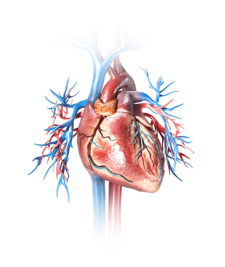 Human heart close-up with vessels vector illustration