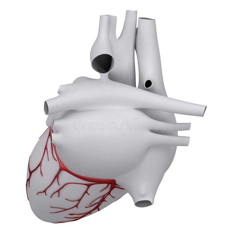 Human heart with coronary vector illustration
