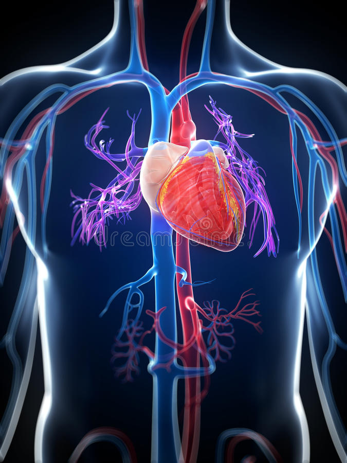 Human heart. 3d rendered illustration of the human heart stock illustration