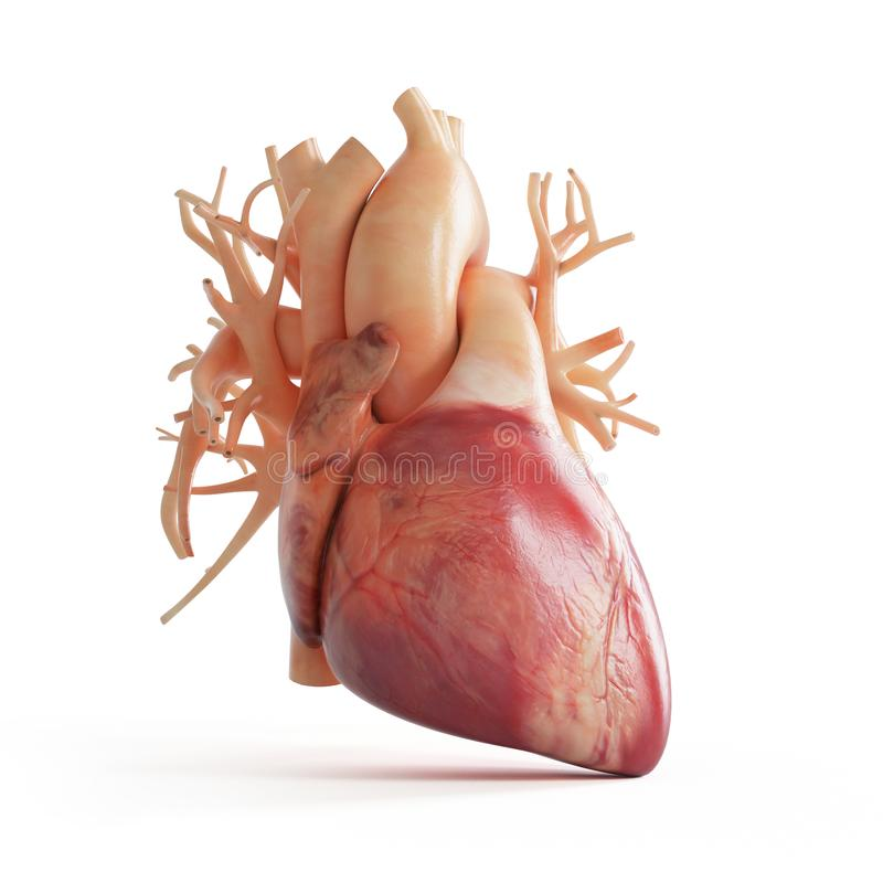 A human heart. 3d rendered medically accurate illustration of a human heart stock illustration