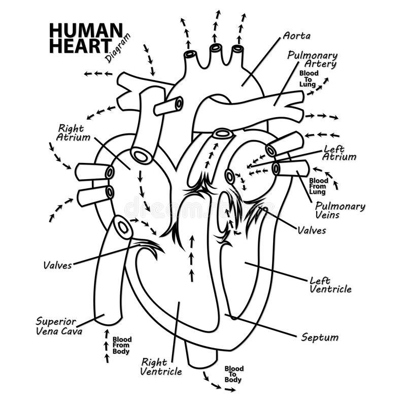 Human heart diagram anatomy tattoo royalty free illustration