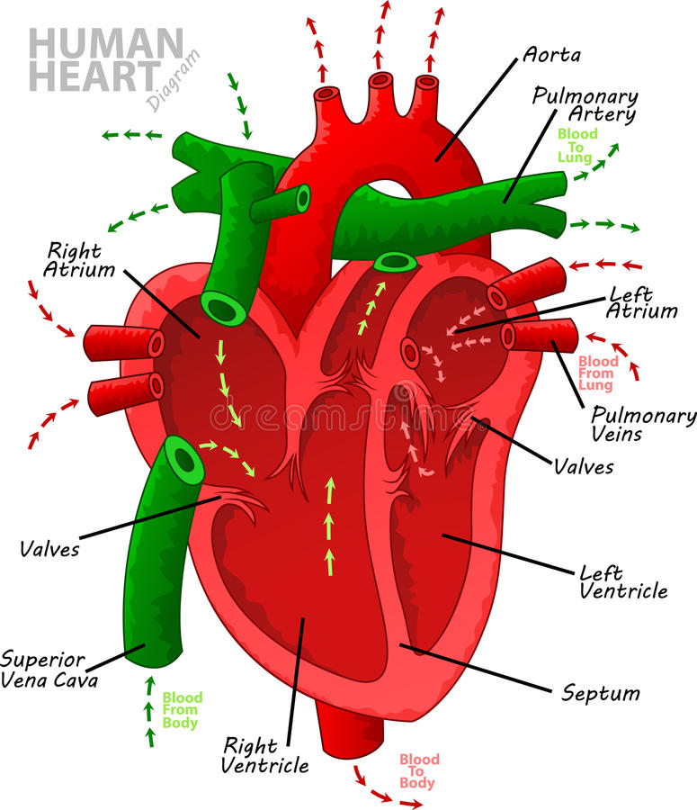 Human heart diagram anatomy. Vector Illustration of Human heart diagram anatomy royalty free illustration