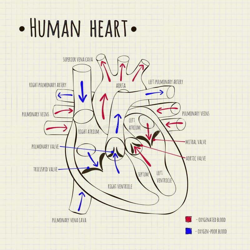 A human heart diagram stock vector illustration of medicine 58648028 vector drawing of a human heart diagram ccuart Choice Image