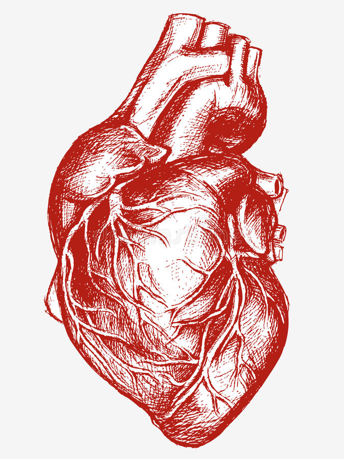 Human Heart Drawing Line Work Stock Vector Illustration Of