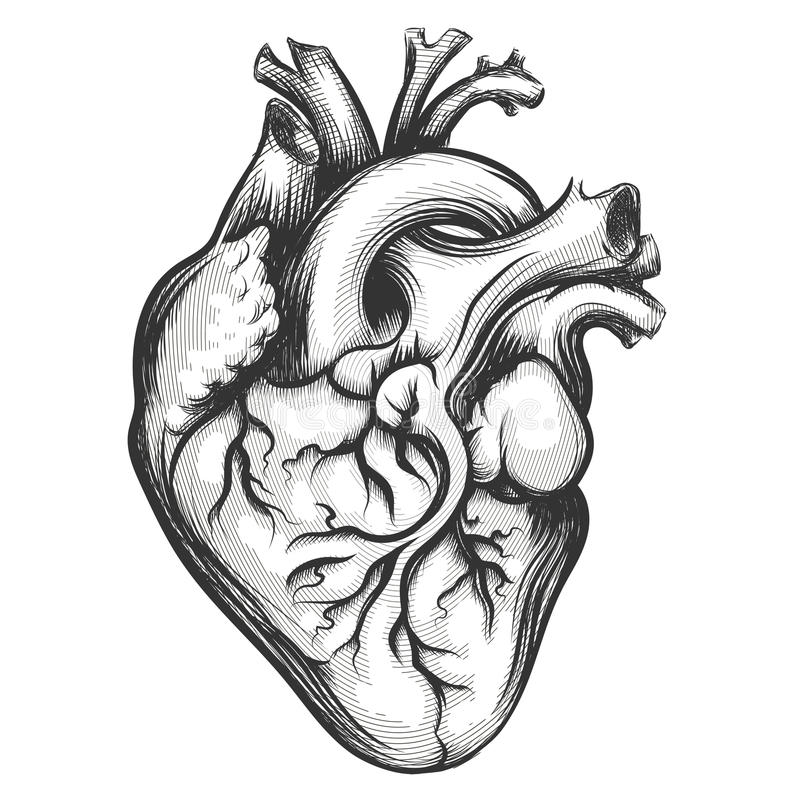 Human Heart stock illustration