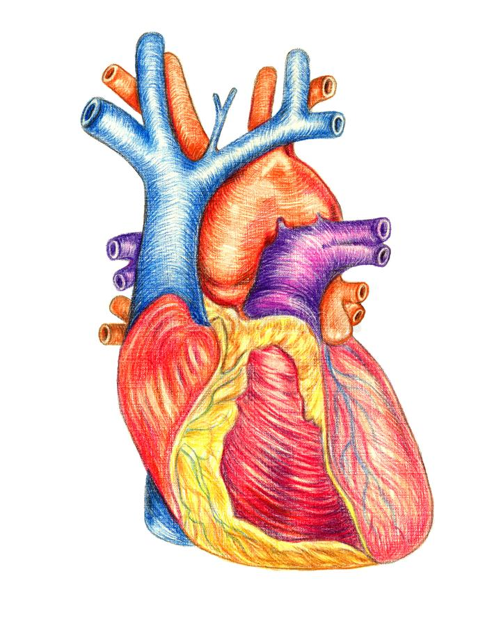 The Human Heart Viewed From The Front Stock Illustration