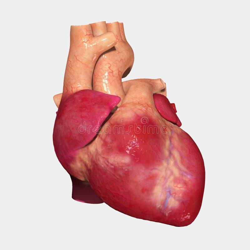 Human Heart Stock Illustration Illustration Of Nervous 39027543