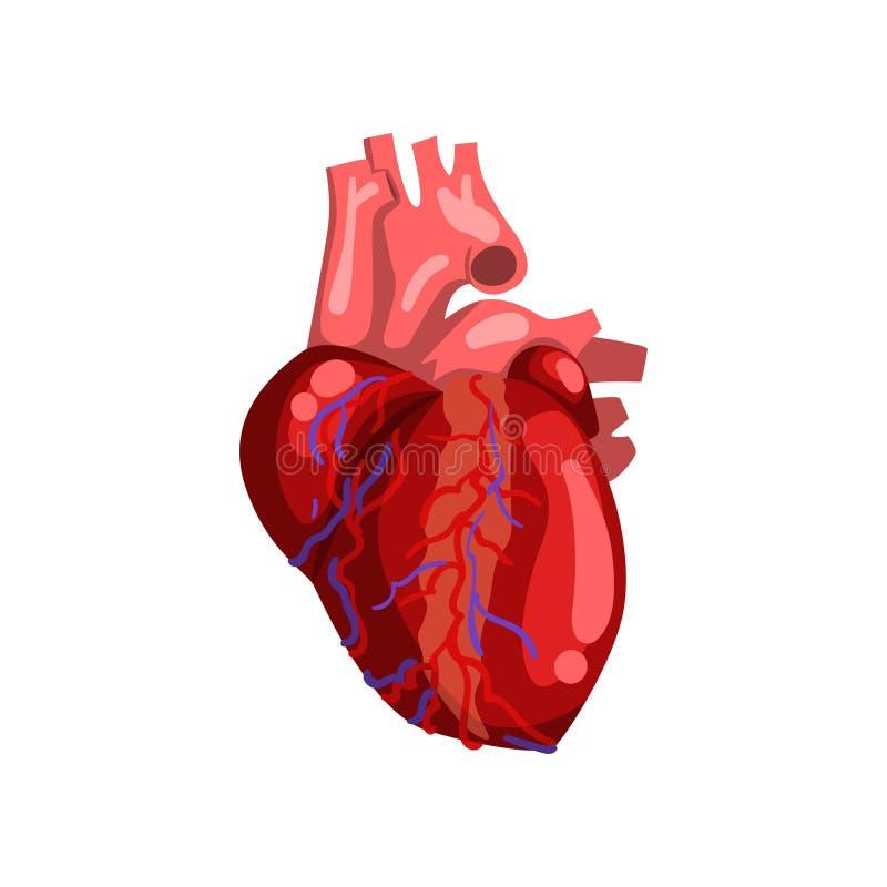 Human heart, internal organ anatomy vector Illustration on a white background vector illustration
