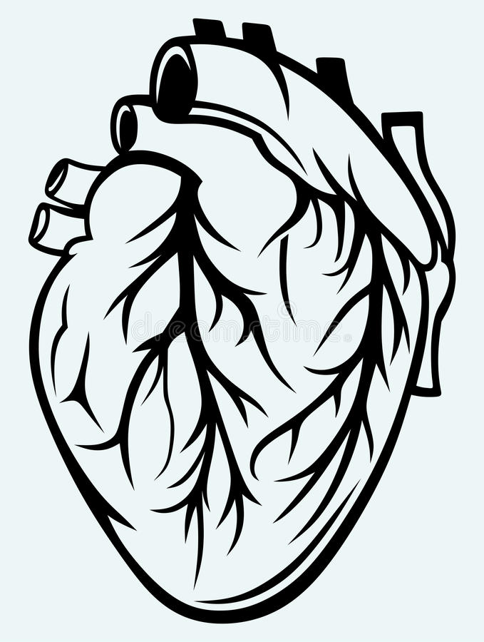 Human heart. Isolated on blue background royalty free illustration