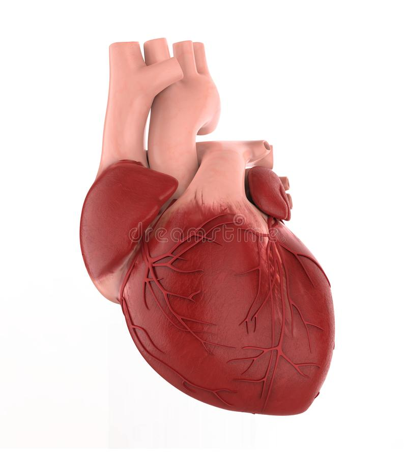 Human Heart Isolated. On white background. 3D render stock illustration