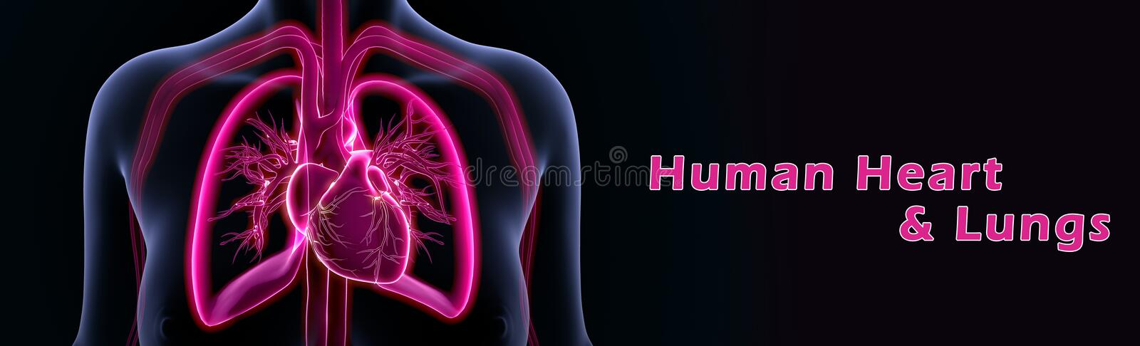 Human Heart and Lungs. Pulmonary lung and cardiovascular heart and circulation health are closely tied because they work as a team to oxygenate the cells and royalty free illustration