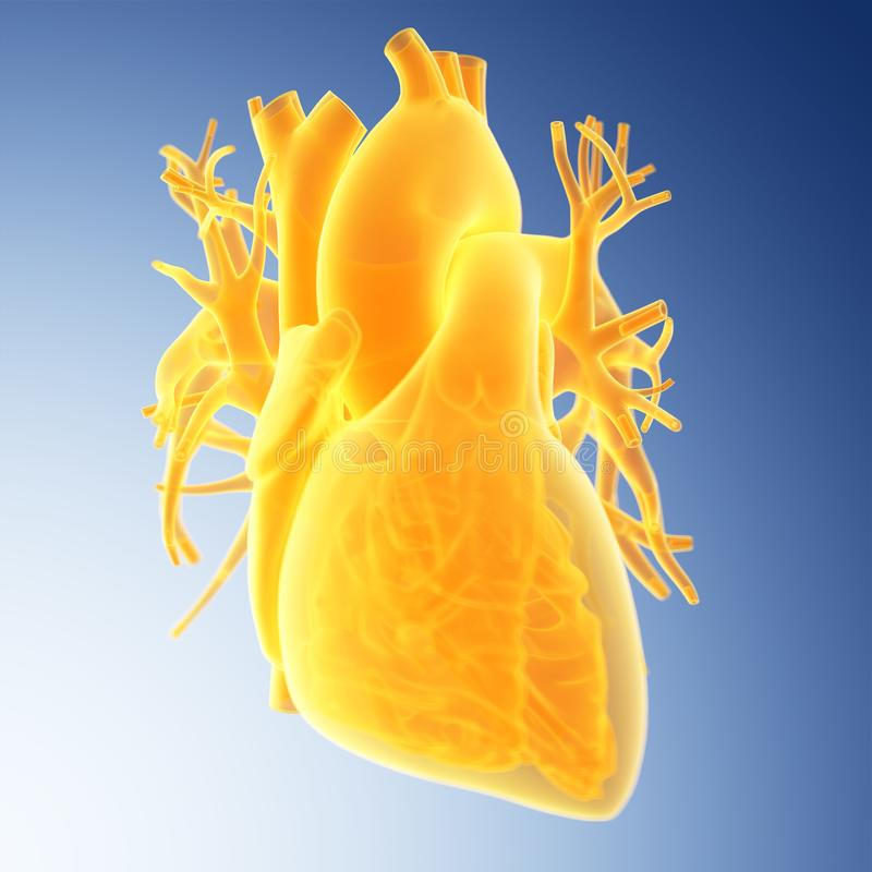 The human heart. Medically accurate illustration of the heart vector illustration