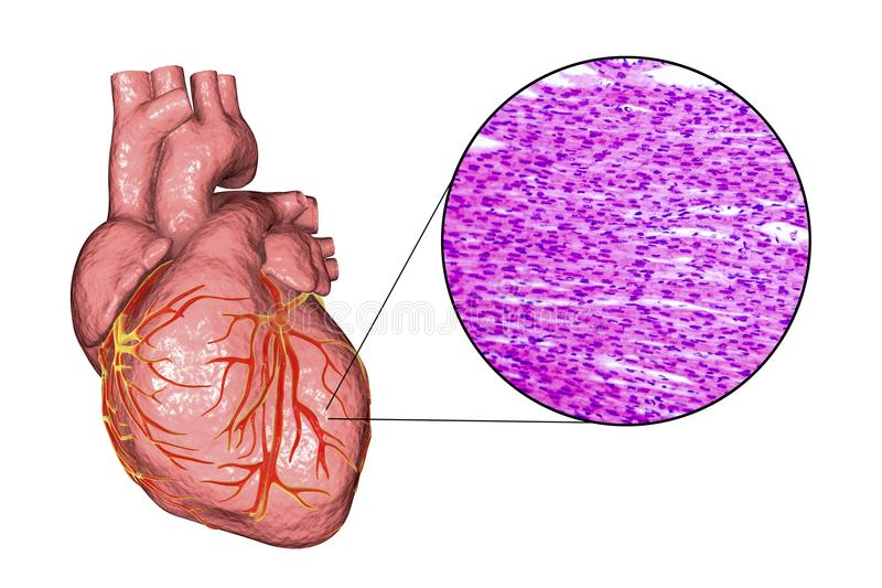 Heart muscle structure. Human heart and micrograph with closeup view of cardiac muscle structure, 3D illustration and photo under microscope stock illustration