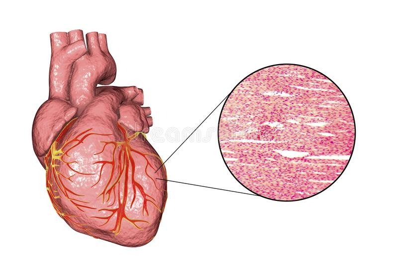 Heart muscle structure royalty free illustration
