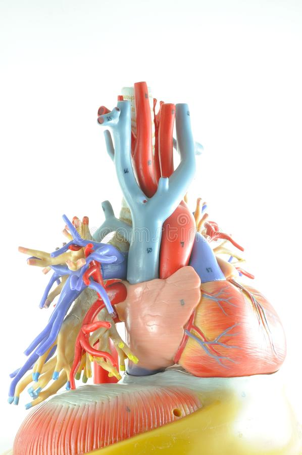 Human heart model stock photo. Image of anatomical, care - 49768936