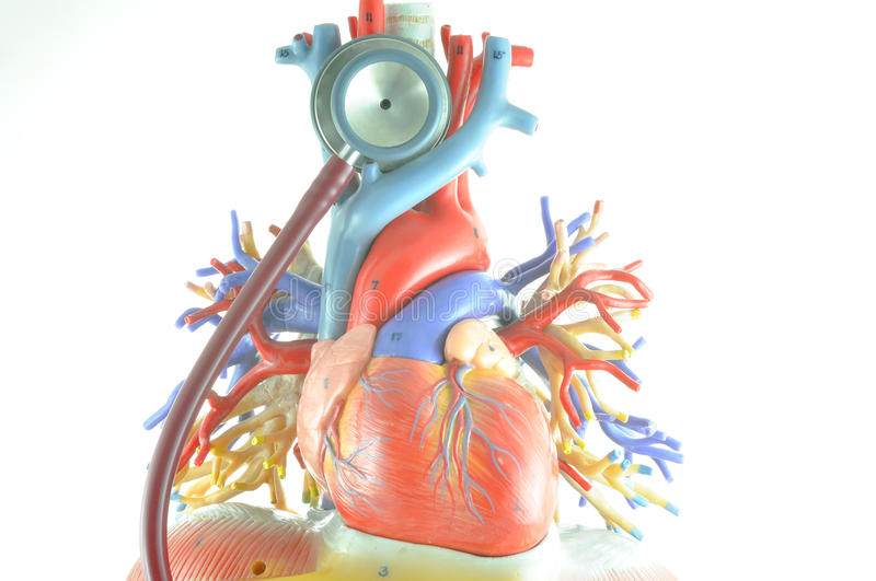 Human heart model stock image. Image of chest, human - 49768953